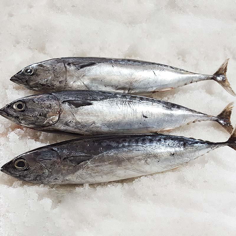 frozen Bonito whole round