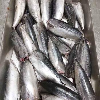 frozen Bonito fish HGT