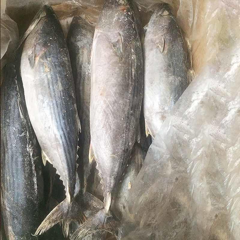 оптовая продажа замороженного тунца Бонито (Sarda Orientalis)