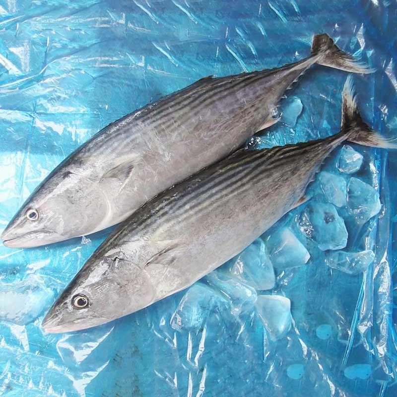wholesale frozen Bonito tuna fish( Sarda Orientalis)