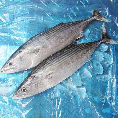 wholesale frozen Bonito tuna fish( Sarda Orientalis)