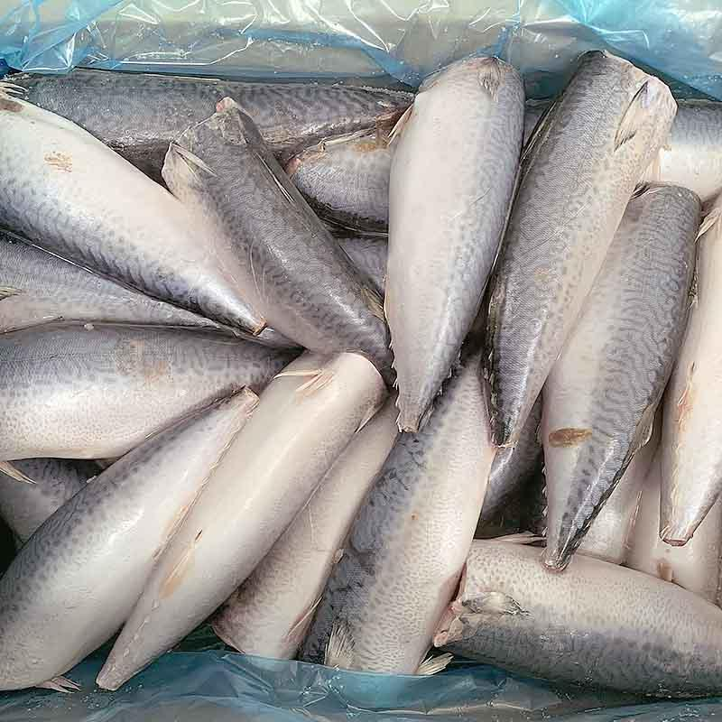 frozen Mackerel HGT