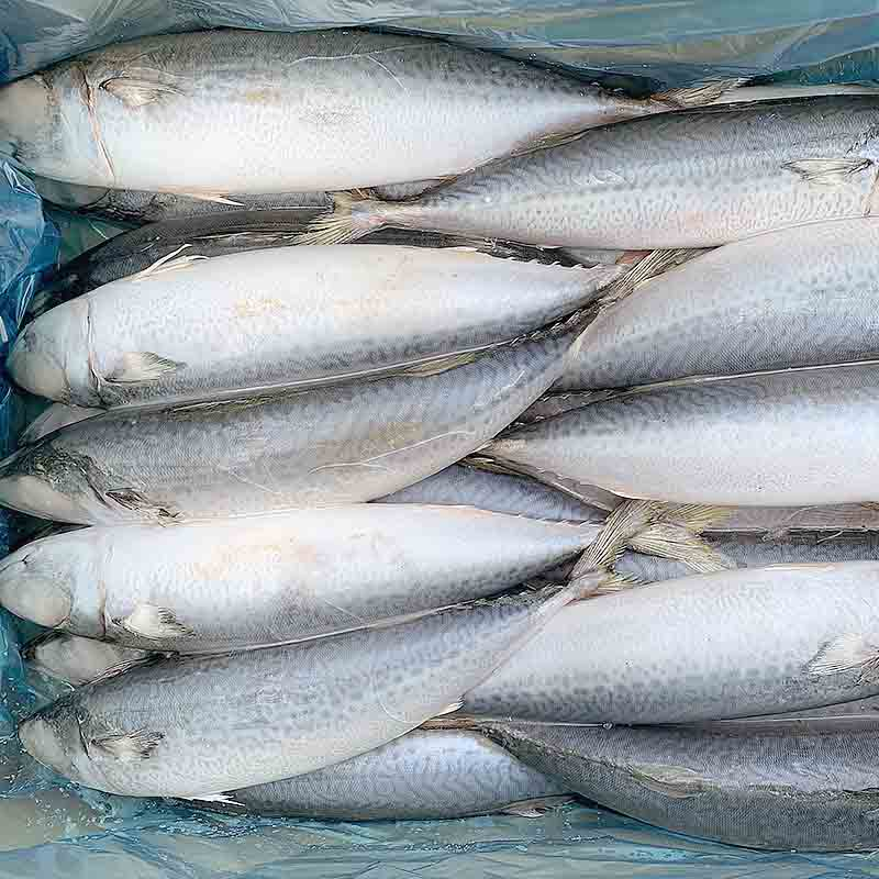 Latest frozen pacific mackerel fish round-1