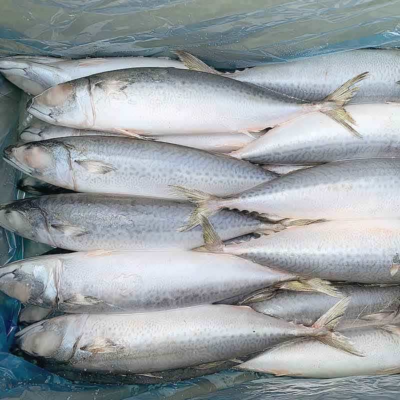 Latest frozen pacific mackerel fish round-2