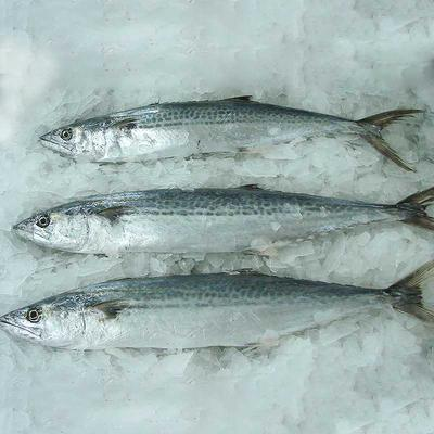 Spanish mackerel whole round&frozen spanish mackerel