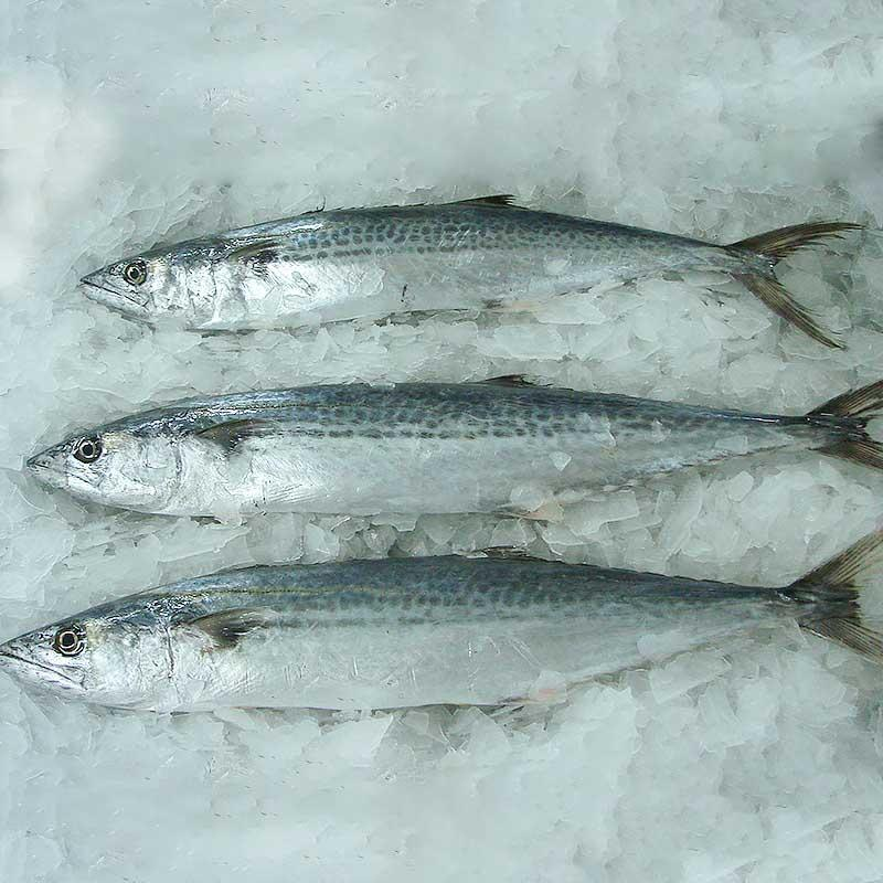 Spanish mackerel whole round&frozen spanish mackerel