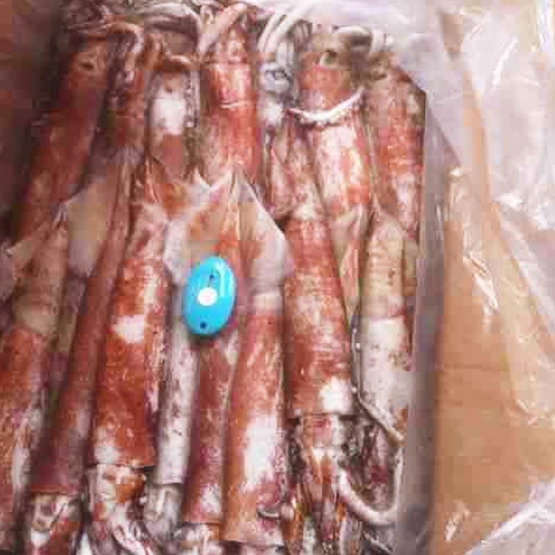 frozen Squid whole round  (  Chinese loligo)